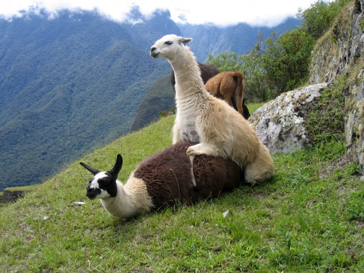 llamas mating reposefully